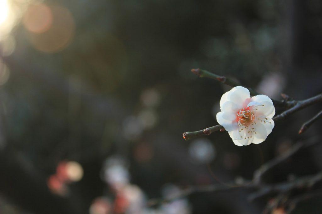 plum-blossom-89532_1280
